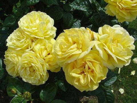 Роза парковая желтая