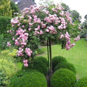 Штамбовые розы