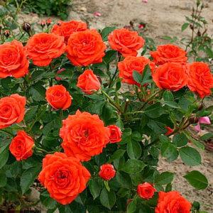 """Роза """"Оранж беби"""""""