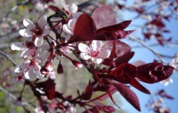 "Слива вишнева ""Pissardii 'Nigra"""