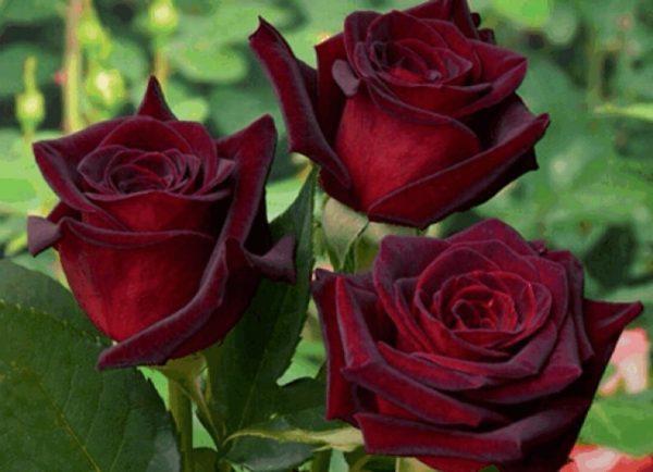 Роза цвета спелой черешни