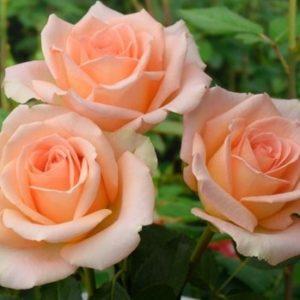 """Роза """"Версилия"""""""