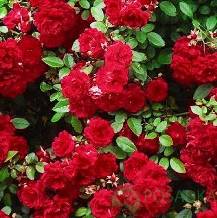 Роза цвета вишни