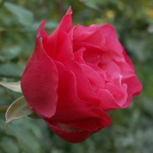 """Роза """"Амалия"""""""
