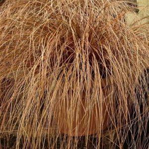 "Carex ""Bronze"""