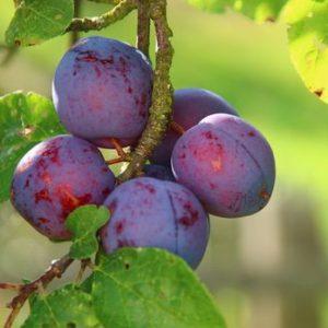 Диплоидные формы плодовых