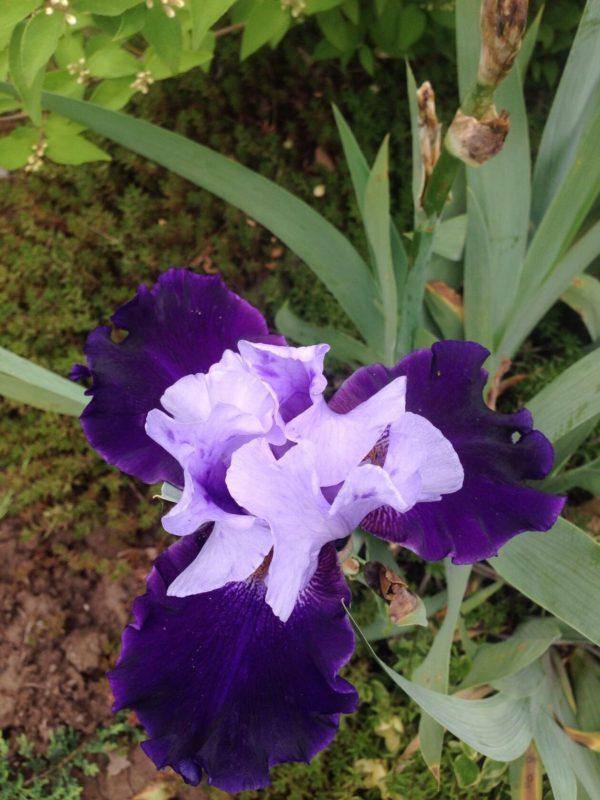 Ирис №3 Двухцветный синий