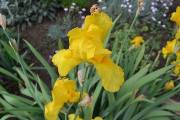 Ирис №1  Желтый