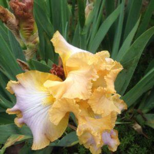 Ирис №5 двухцветный желтый