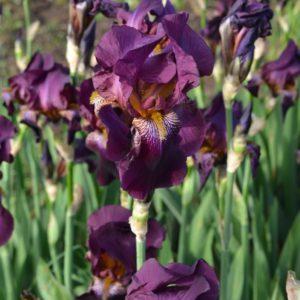 Ирис №8 фиолетовый