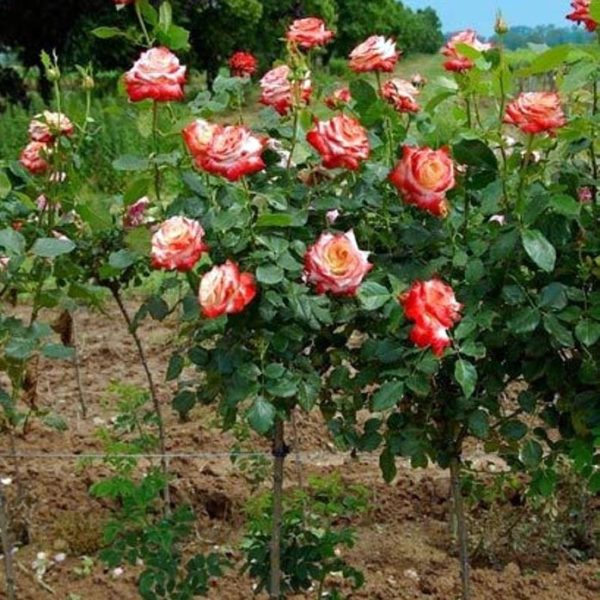 "Роза на штамбе ""Императрица Фарах"""