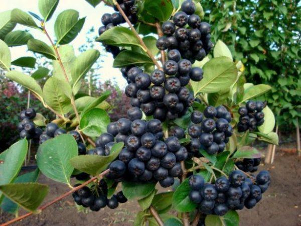 Арония(черноплодная рябина)