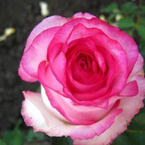 "Роза ""Дольче Витта 2000"""