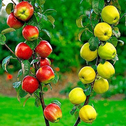 """Дерево-сад яблоня """"Мельба, Ренет Безгуду, Снежный кальвиль"""""""