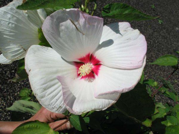 Гибискус болотный Бело-розовый, крупно цветковый