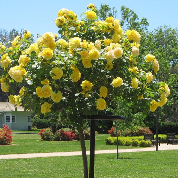 """Роза на штамбе """"Желтая"""""""