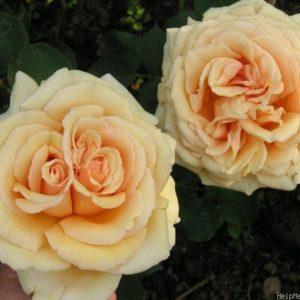 """Роза """"Валенсия"""""""