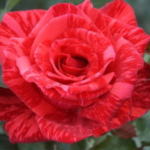 "Роза ""Ред Интуишен"""