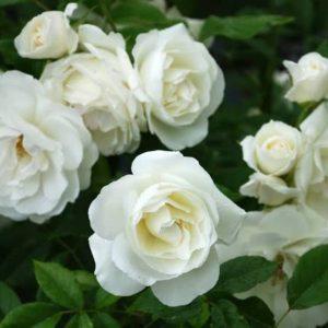 """Роза """"Вайт принцез"""""""