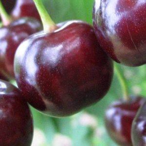 """""""Дюк"""" Гибрид вишни и черешни"""