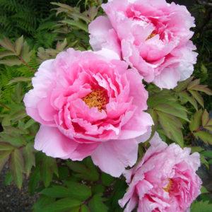 Пион древовидный светло-розовый