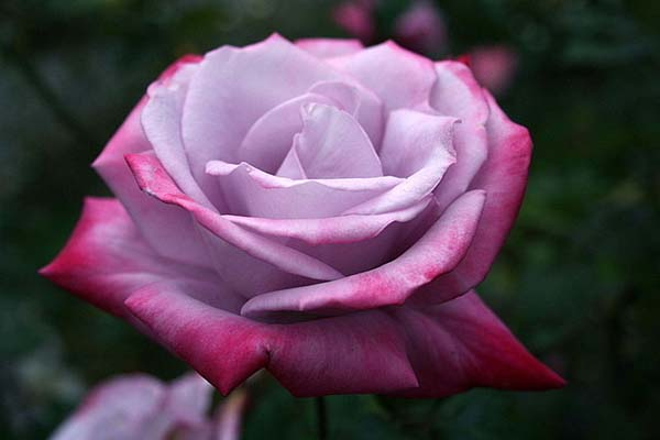 """Роза """"Парадайс"""""""