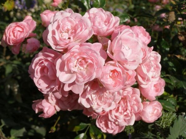 """Роза на штамбе """"Фейри"""""""