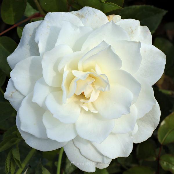 Роза парковая Белая
