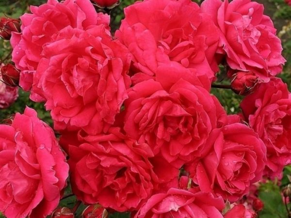 Роза парковая красная