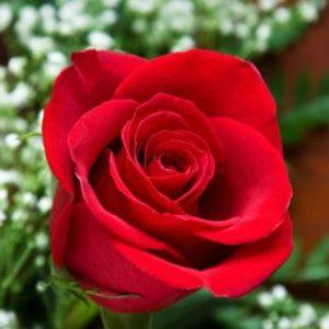 """Роза """"Гранд Гала"""""""