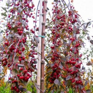 яблоня штамбовая райская плакучая пендула