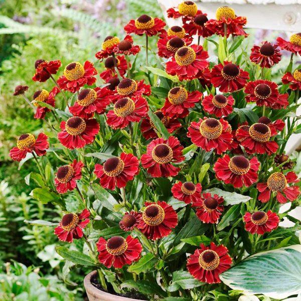 Helenium hybride 'Ruby Tuesday'Гелениум гибридный