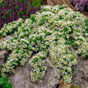 Астра вересковидная Aster ericoides 'Snow Flurry᾽