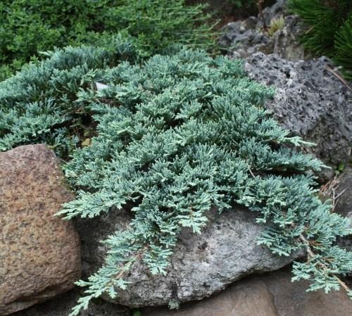 Можжевельник горизонтальный Айс Блю (juniperus horizontalis Icee Blue)