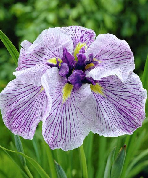 Ирис мечевидный ( японский ) Iris ensata Greywoods Catrina