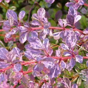 Барбарис тунберга Роуз Глоу (Berberis thunbergii Rose Glow )