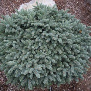 Ель колючая «Вальдбрун» (Picea pungens «Waldbrunn»)