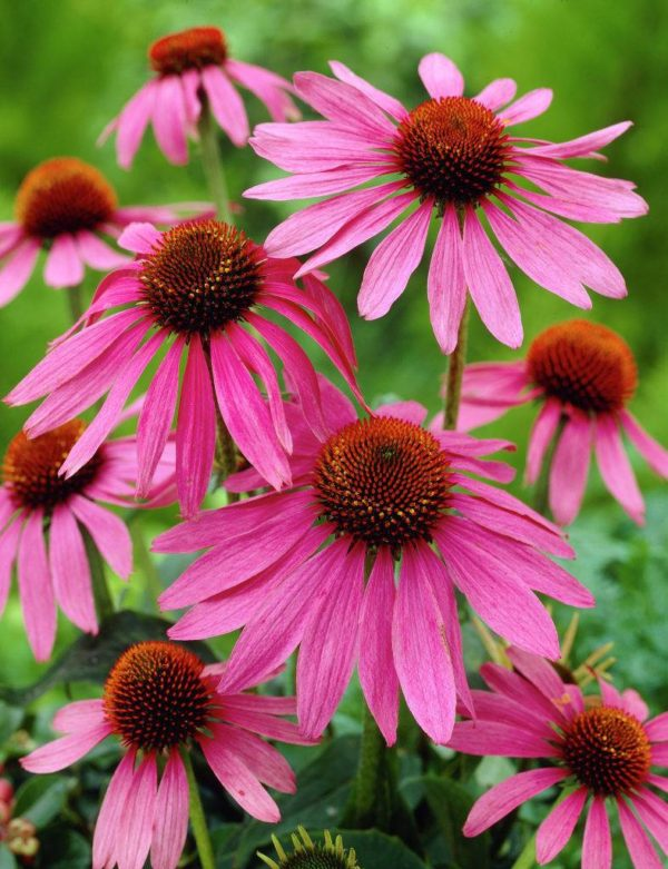 Эхинацея пурпурная Echinacea purpurea Magnus
