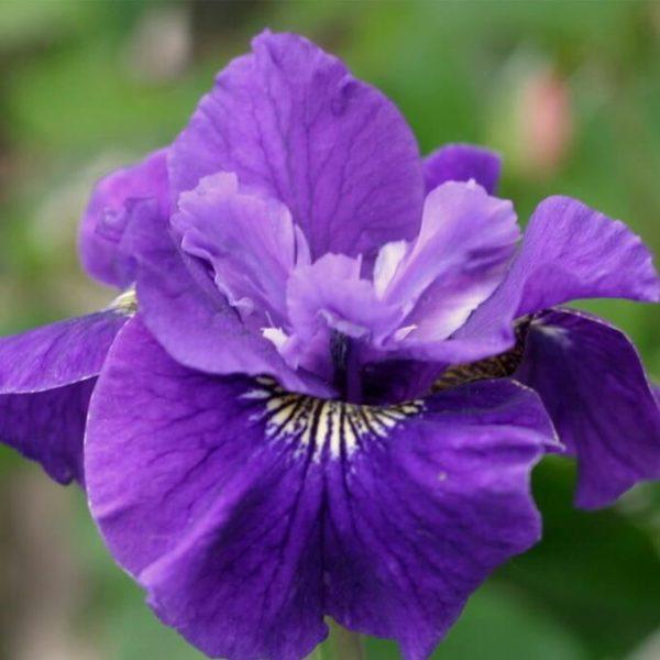 Iris sibirica  'Ruffled Plus'