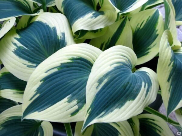 Хоста Hosta   'Blue Ivory'