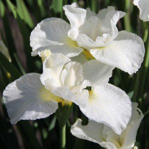 Iris sibirica  'Gull's Wing'    'Kabluey'