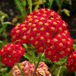 Тысячелистник обыкновенный Achillea millefolium Paprika