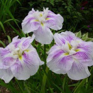 Ирис мечевидный ( японский ) Iris ensata Kogesho