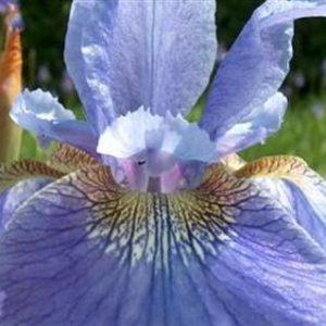 Ирис сибирский Iris sibirica Welcome Return