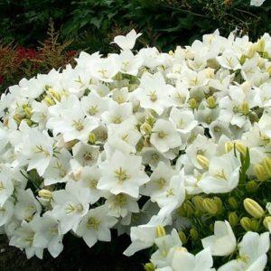 "Колокольчик карпатский""Campanula carpatica   'White Clips'"