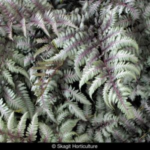 Athyrium niponicum 'Silver Falls'Кочедыжник ниппонский