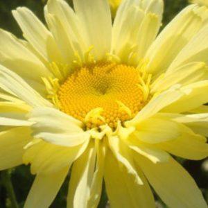 Leucanthemum x superbum 'Goldfinch'  Ромашка(нивяник большой)