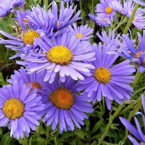 Астра альпийская Aster alpinus Violet