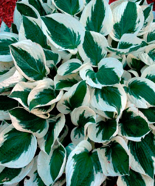 Хоста Hosta  'Patriot'