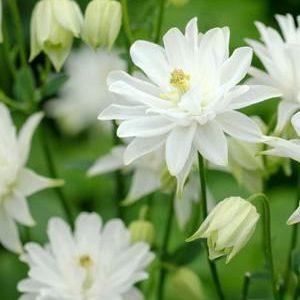 Аквилегия обыкновенная или водосбор Aquilegia vulgaris Clementine White